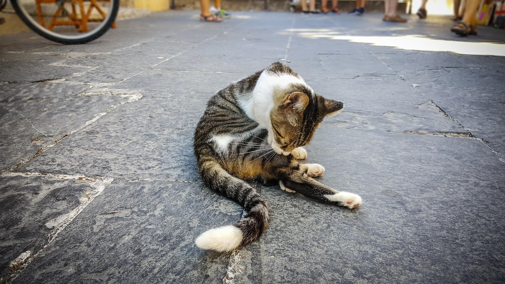 Když se kočka zblázní – kočičí hyperestesie